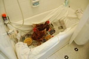 Chickens in a bathtub.